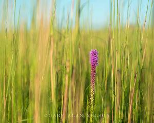 Blazing Star an Grasses