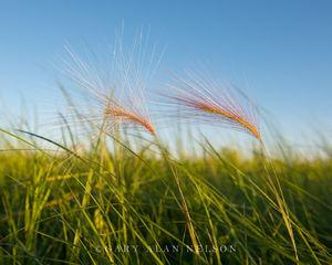 foxtail barley, minnesota, prairie