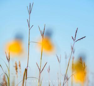 minnesota, prairie, long headed coneflower