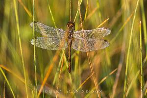 dragonfly, minnesota, prairie