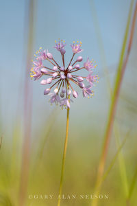 prairie onion, minnesota, nature conservancy