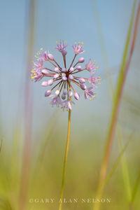 prairie onion, minnesota, nature conservancy