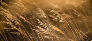 Indiangrass, Nature Conservancy, Minnesota
