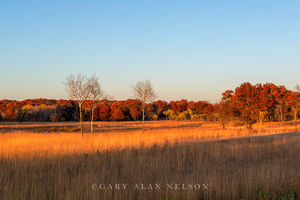 minnesota, prairie, birch trees, cedar creek natural area