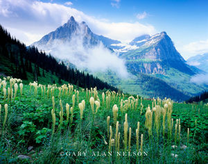 Glacier National Park, Montana, beargrass