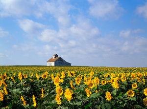Red River Valley, North Dakota, sunflowers, barn