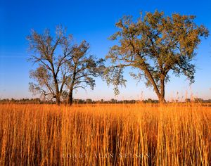 Prairie Grasses and Cottonwood Trees