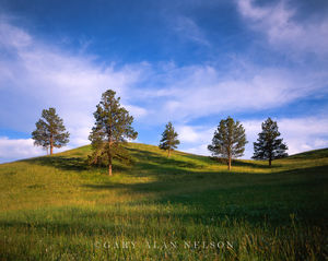 Custer State Park, Black Hills, South Dakota, ponderosa pines, rise