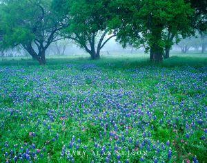 Blanco County, Texas, bluebonnets, phlox, oak trees