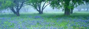 oak trees, bluebonnets, texas