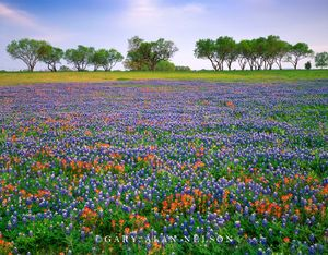 Bluebonnets and Paintbrush in Field