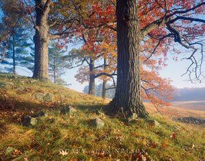 Barron County, Wisconsin, oak trees