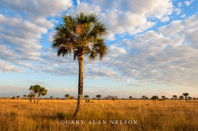 big cypress national preserve, florida, palm, clouds