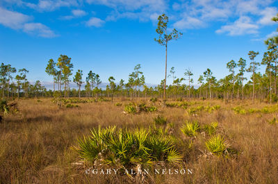 everglades national park, florida ,palmetto, slash pine