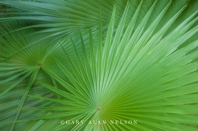 everglades national park, saw palmetto, florida