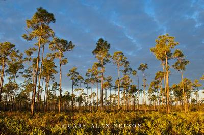 Slash Pines, Palmettos and Clouds