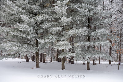 Thick rime ice in the woods