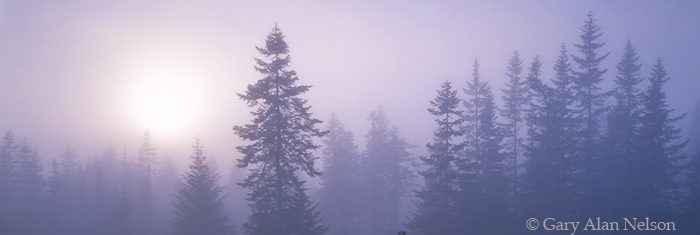 pines, fog, idaho, photo