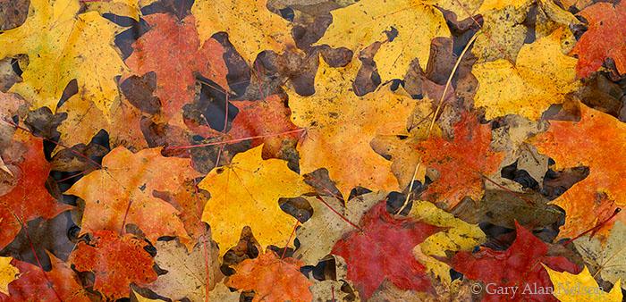 Mille Lacs Kathio State Park, Minnesota, maple leaves, photo