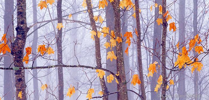 Banning State Park, Minnesota, fog, maple leaves, photo