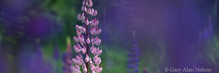 minnesota, lupine, superior national forest, photo