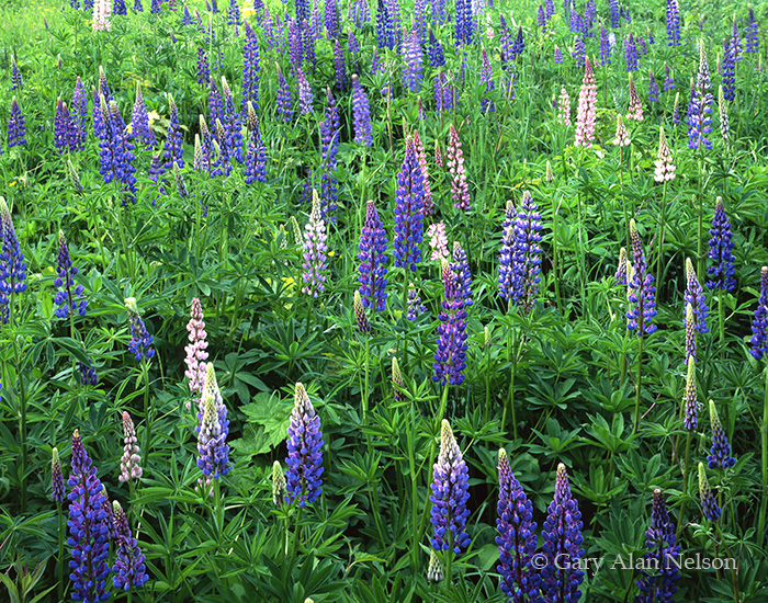 lupines, lake superior, north shore, minnesota, photo