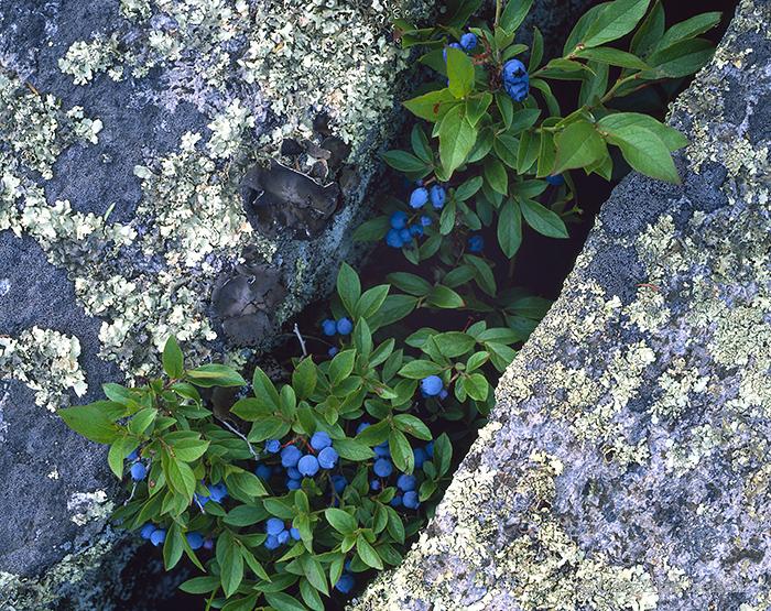 blueberries, granite, minnesota, superior national forest, photo