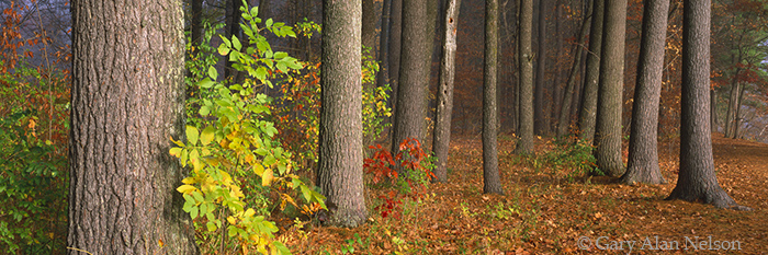 minnesota, white pine, fog, state park, st. croix national scenic river, photo