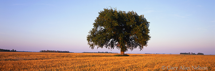 minnesota, tree, wheatfield, photo
