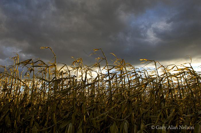 minnesota, corn, rural, photo