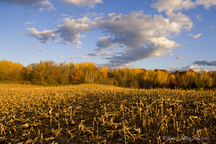 cornfield, minnesota, rural, stalks, photo