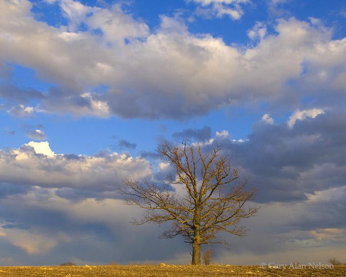 minnesota, oak tree, oak, sky, photo