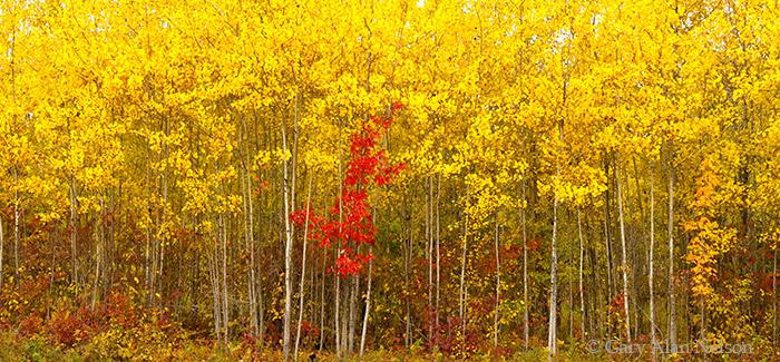minnesota, aspens, maples, national forest, photo