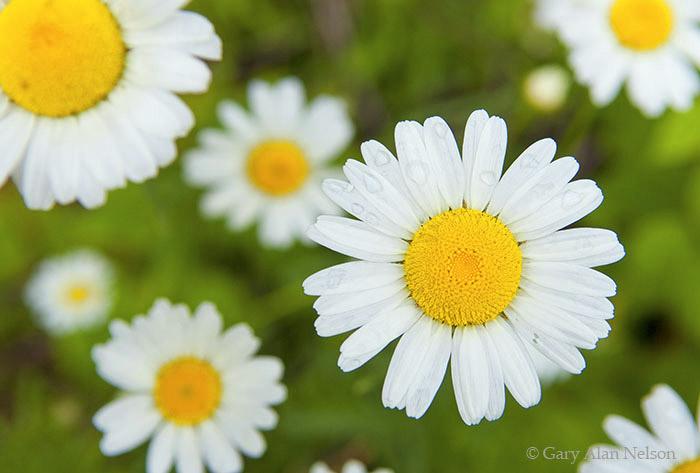 minnesota, daisies, photo