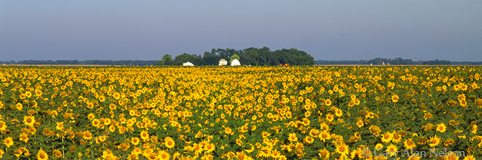 sunflowers, farm, minnesota, red river valley, photo