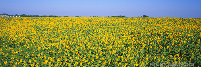 sunflowers, minnesota, photo