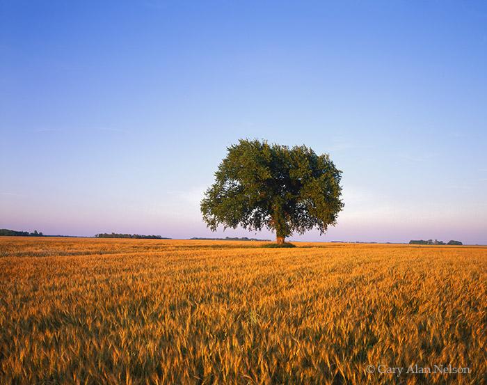 MN-97-111-RU Tree standing in wheat field, Norman County, Minnesota.