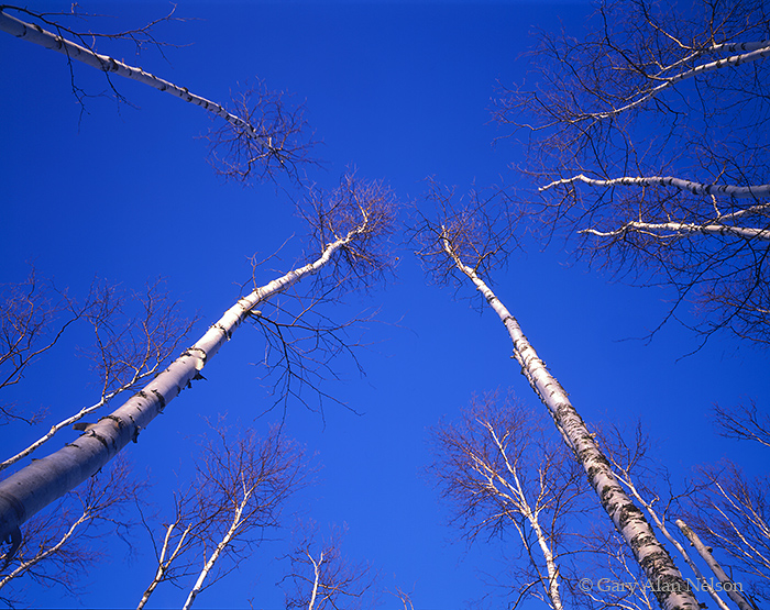 birch trees, minnesota, superior national forest, photo