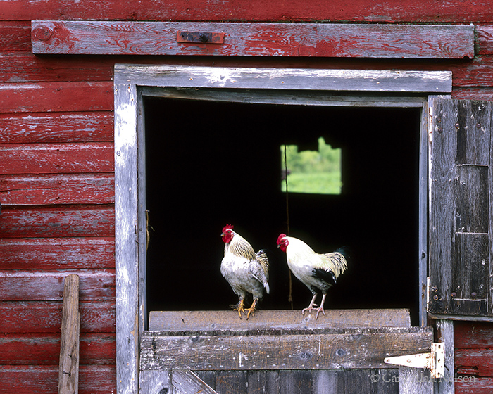 roosters, chickens, minnesota, barn, fence, photo