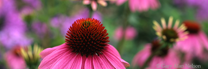 purple coneflowers, minneapolis, minnesota, photo