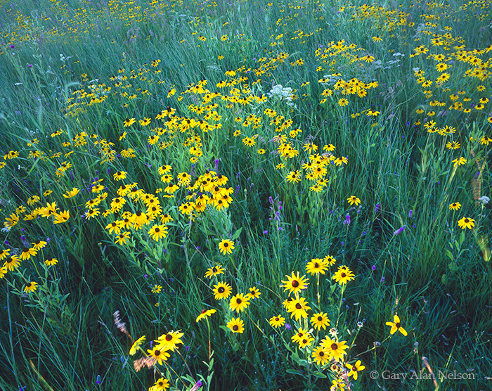 black-eyed susans, minnesota, national wildlife refuge, photo