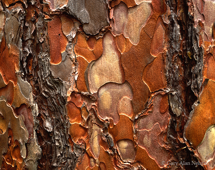 norway pine, minnesota, state park, itasca, photo