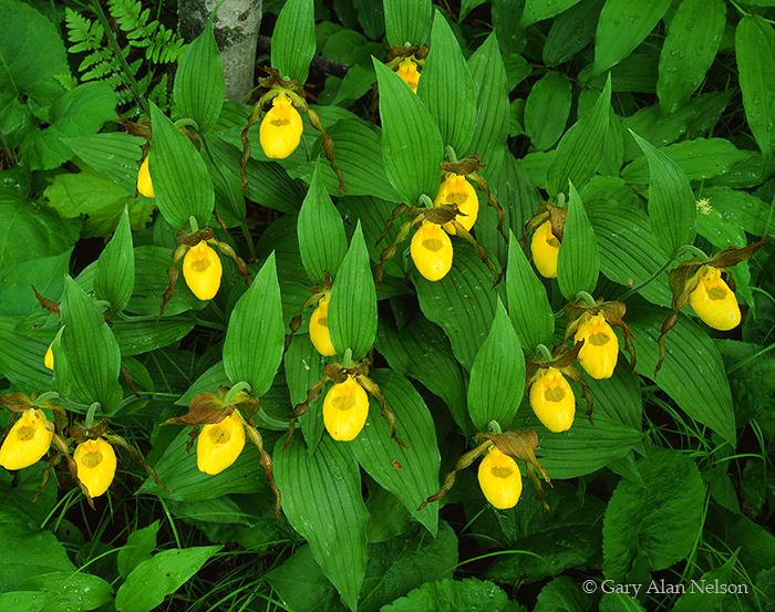 yellow ladyslippers, minnesota, state park, photo