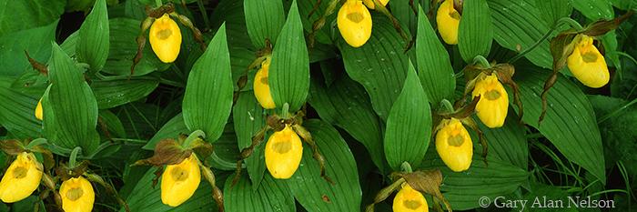 yellow ladyslippers, minnesota, photo