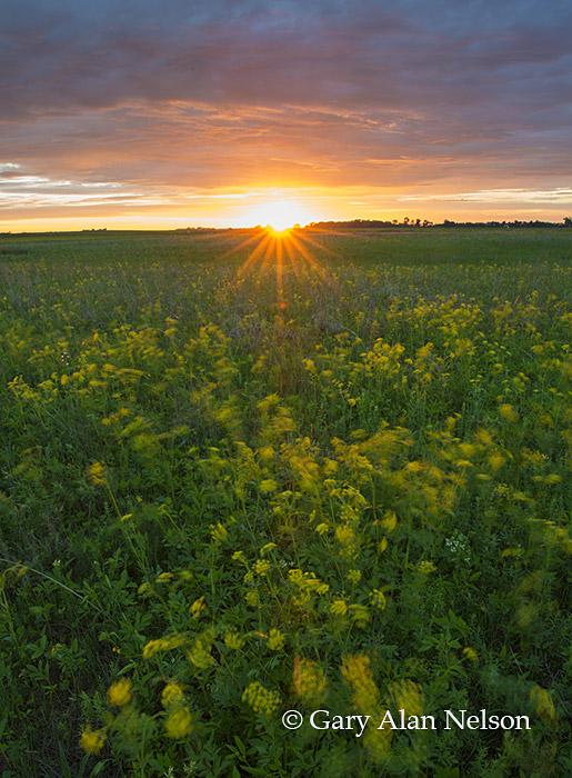 Golden alexanders, sunset, prairie and sky, Butternut Valley Prairie SNA, Minnesota, photo