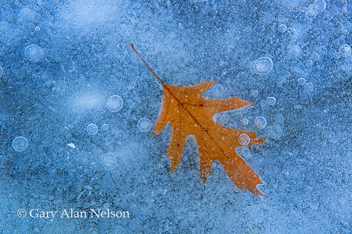 ice, oak leaf, minnesota, photo