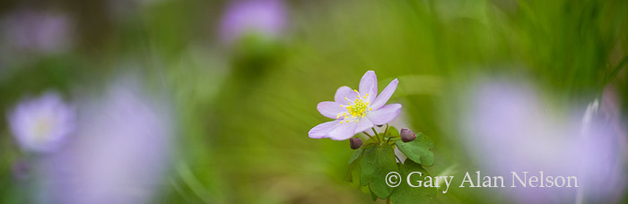 rue anemone, minnesota, st. croix, state park, interstate, photo