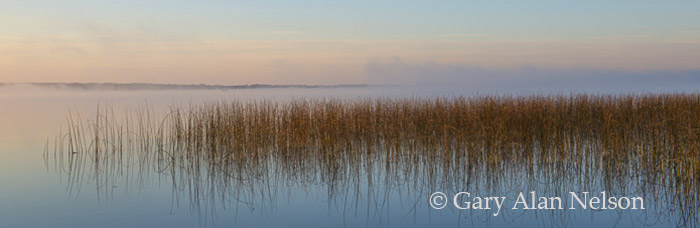 bulrushes, minnesota, dawn, photo