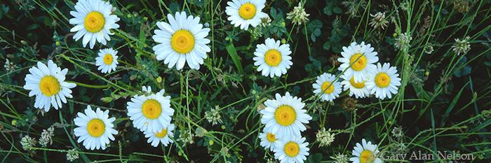 daisies, photo