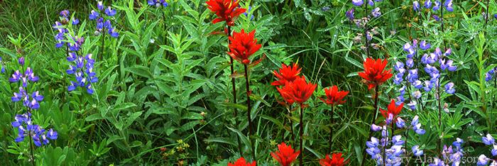 lupine, paintbrush, mount rainier national park, washington, photo